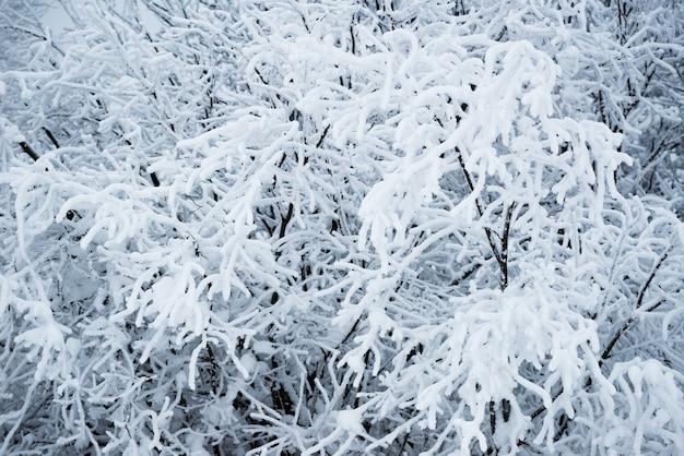 Vista inferior, altos belos pinheiros majestosos cobertos de neve em uma floresta contra um céu azul nebuloso nublado dia frio de inverno