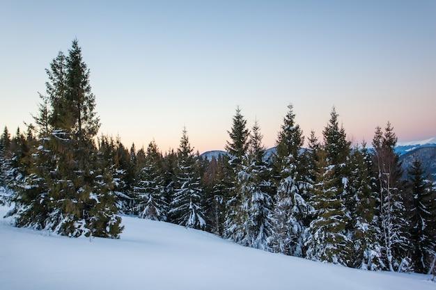 Vista inferior belos e esguios abetos nevados crescem entre as colinas pitorescas da floresta em um dia nublado de inverno