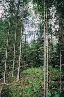 Vista inferior da colina com uma floresta de pinheiros e céu azul sem nuvens