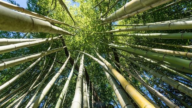 Vista inferior da floresta de bambu, arboretum em sukhum, abkhazia.