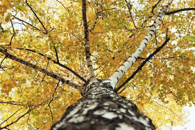 Vista inferior do tronco e coroa de uma bétula com folhas amarelas.
