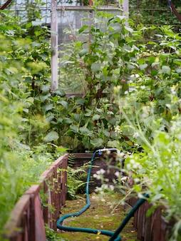 Vista interna de uma antiga estufa com várias plantas e um sistema de irrigação, uma mangueira azul