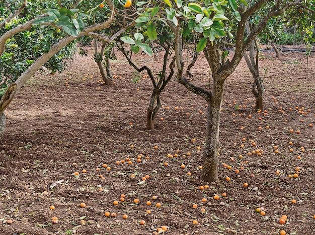 Vista, laranja, fruta, jardim, maduro, colheita