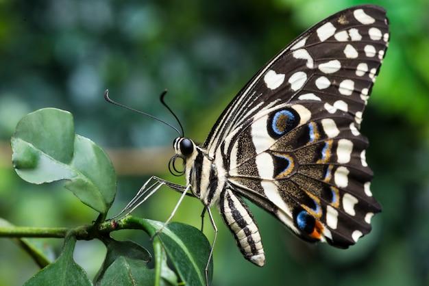 Vista lateral, buckeye, borboleta, ligado, planta