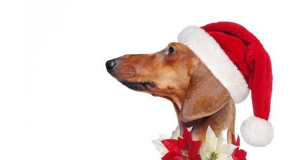 Vista lateral closeup portraif de um dachshund vestindo roupa de natal