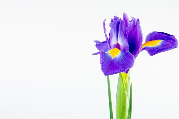 Vista lateral da flor de íris de cor roxa escura, isolada no fundo branco, com espaço de cópia
