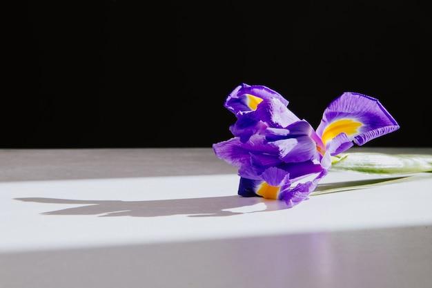Vista lateral da flor de íris roxo deitado no fundo branco, com espaço de cópia