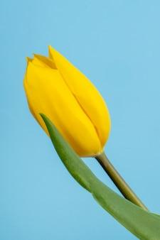 Vista lateral da flor tulipa de cor amarela, isolada na mesa azul
