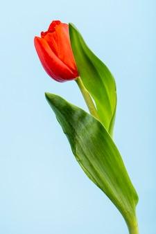 Vista lateral da flor tulipa de cor vermelha, isolada na mesa azul