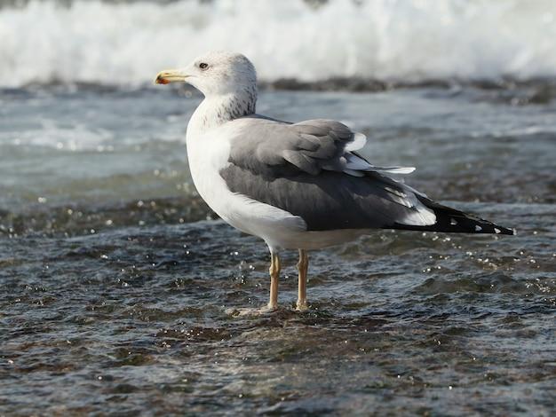 Vista lateral da grande gaivota de dorso negro (larus marinus) nas ondas do oceano