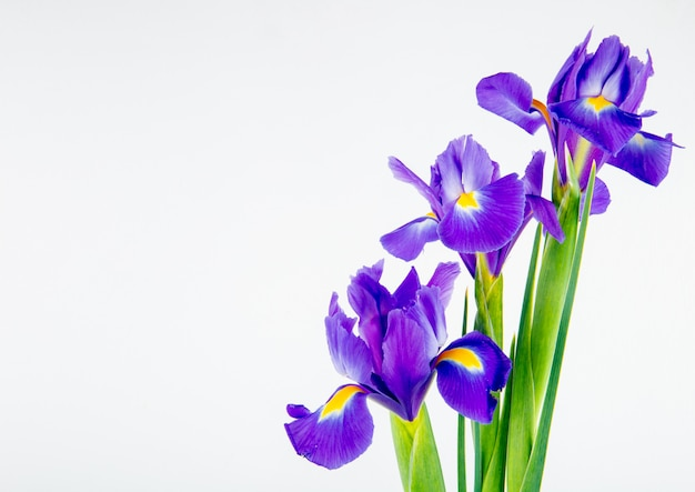 Vista lateral das flores de íris de cor roxa escura, isoladas no fundo branco, com espaço de cópia