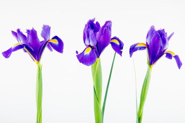 Vista lateral das flores de íris de cor roxa escura, isoladas no fundo branco