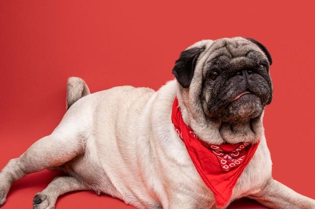 Vista lateral de adorável pug com bandana