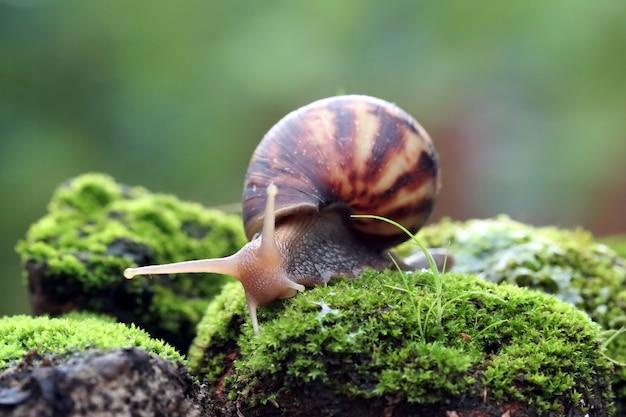 Vista lateral de caracol gigante em musgo
