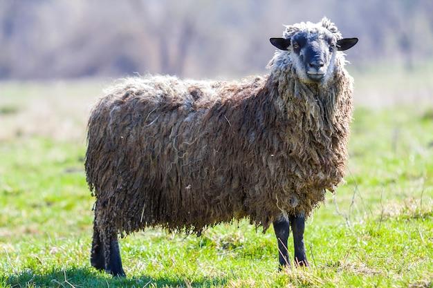 Vista lateral de grandes ovelhas saudáveis com velo cinzento branco longo encaracolado em pé sozinho no campo gramado verde, olhando orgulhosamente na câmera na cena borrada brilhante.