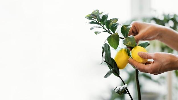 Vista lateral de mulher cultivando limões dentro de casa com espaço de cópia