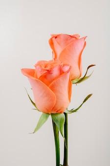Vista lateral de rosas de cor coral, isoladas no fundo branco