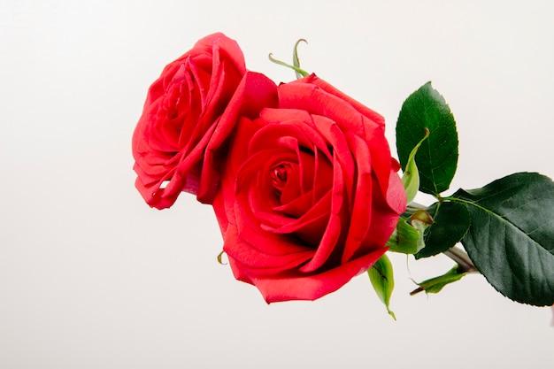 Vista lateral de rosas de cor vermelha, isoladas no fundo branco