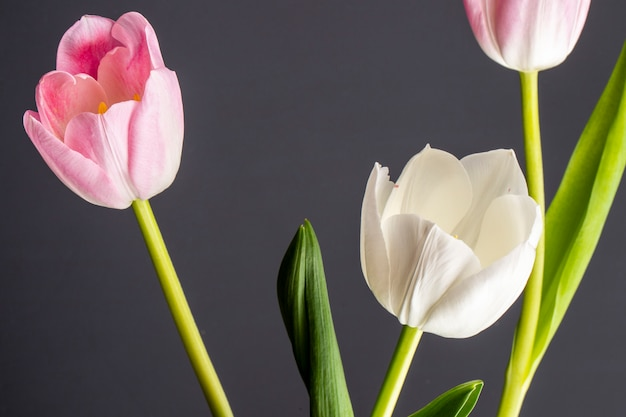 Vista lateral de tulipas de cor branca e rosa isoladas na mesa preta