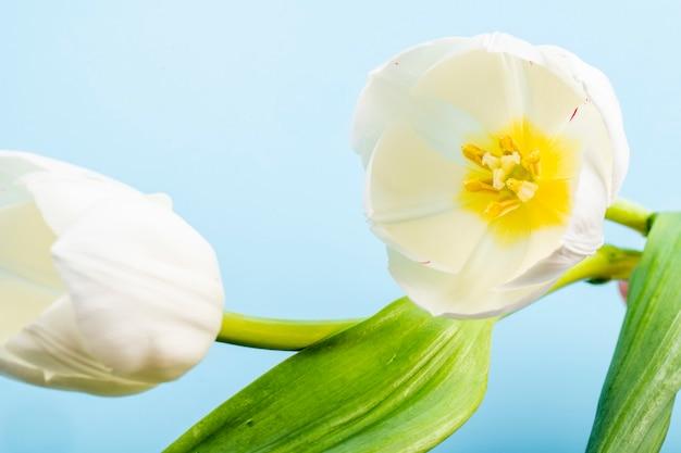 Vista lateral de tulipas de cor branca, isoladas na mesa azul