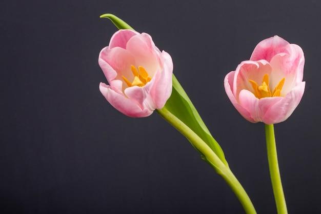 Vista lateral de tulipas de cor rosa isoladas na mesa preta