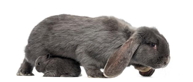 Vista lateral de um coelho com orelhas caídas e de um coelho jovem, isolado no branco