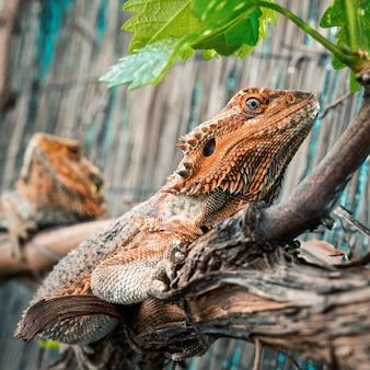 Vista lateral de um dragão laranja barbudo com pele áspera descansando em um galho de árvore na natureza