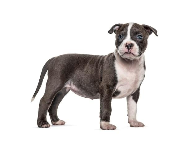 Vista lateral de um filhote de cachorro american bully em pé, isolado
