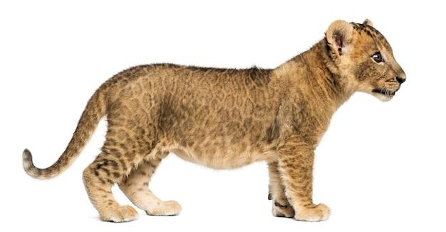 Vista lateral de um filhote de leão isolado no branco