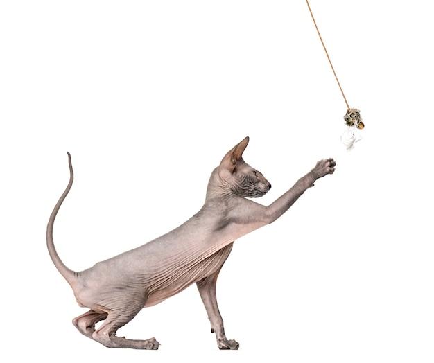 Vista lateral de um gato pelado peterbald, brincando com um brinquedo, isolado no branco