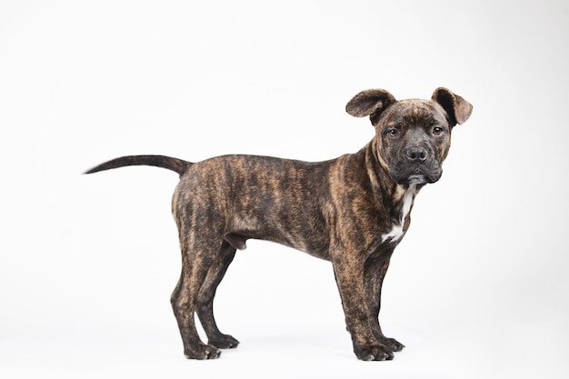 Vista lateral de um jovem filhote de cachorro americano em pé, isolado no fundo branco