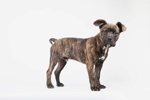 Vista lateral de um jovem filhote de cachorro americano stanford olhando para a câmera
