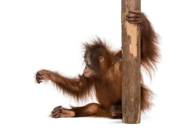 Vista lateral de um jovem orangotango de bornéu sentado, segurando-se em um tronco de árvore, pongo pygmaeus, de 18 meses, isolado no branco