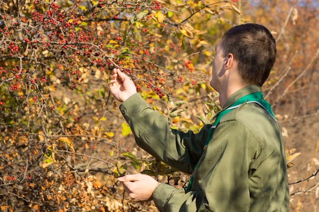 Vista lateral de um jovem ranger ou batedor verificando as bagas vermelhas de outono em maturação em um arbusto com folhagem amarela colorida