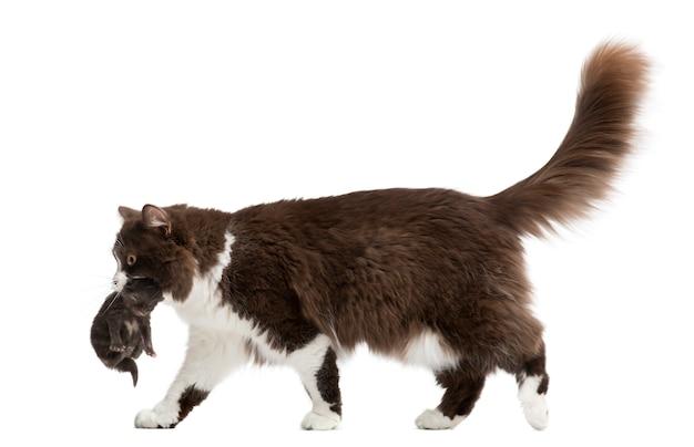 Vista lateral de um longhair britânico andando carregando gatinho isolado no branco