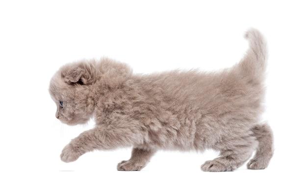 Vista lateral de um passeio de gatinho de dobra das montanhas isolado no branco