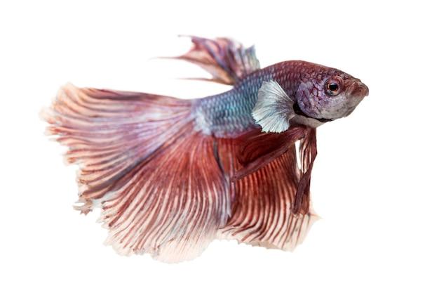 Vista lateral de um peixe-lutador siamês, betta splendens, isolado no branco