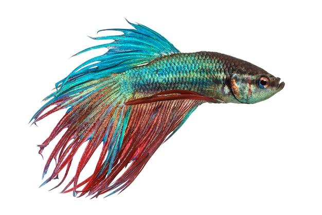 Vista lateral de um peixe lutador siamês