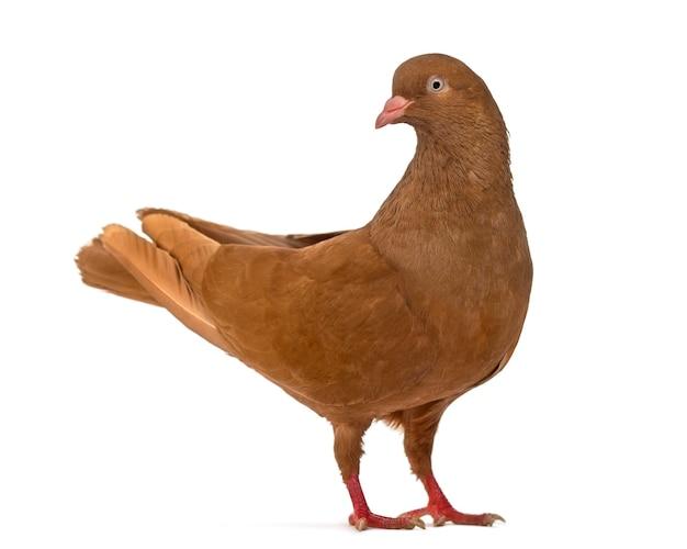 Vista lateral de um pombo da bélgica olhando para a câmera isolada no branco