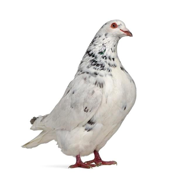 Vista lateral de um pombo texano isolado no branco