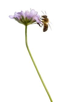 Vista lateral de uma abelha europeia pousando em uma planta com flor
