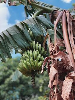 Vista lateral de uma bananeira com frutos de banana verde contra um fundo de bela folhagem verde.