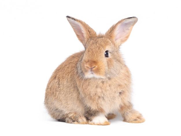 Vista lateral do assento bonito marrom do coelho do bebê isolado na parede branca.