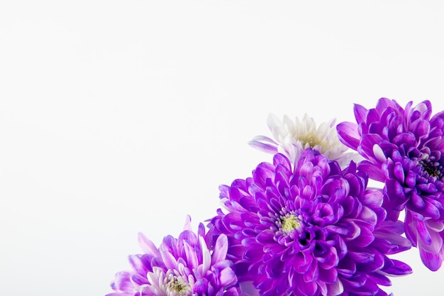 Vista lateral do buquê de flores de crisântemo violeta e branco cor isolado no fundo branco, com espaço de cópia