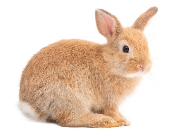 Vista lateral do coelho bonito vermelho-marrom isolado no fundo branco.