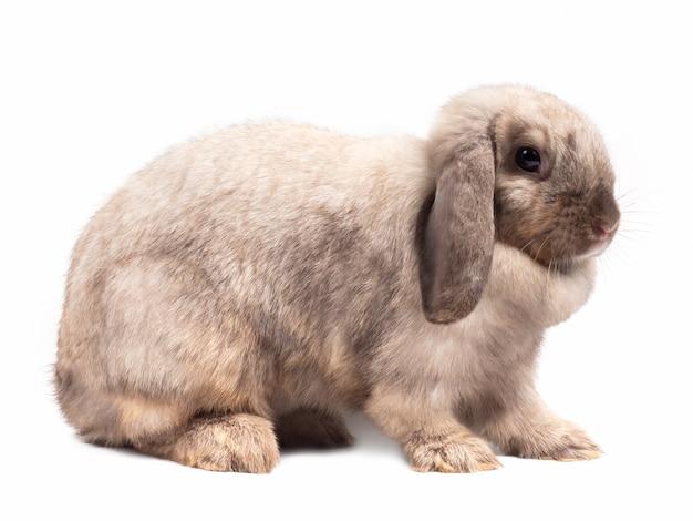Vista lateral do coelho cinzento bonito de holland lop isolado no fundo branco.