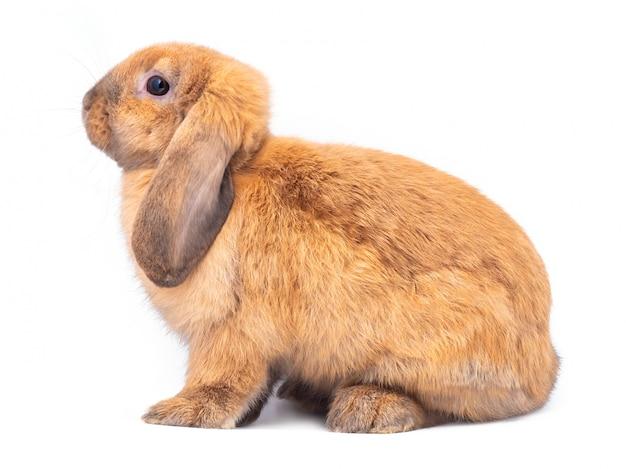 Vista lateral do coelho marrom sentado