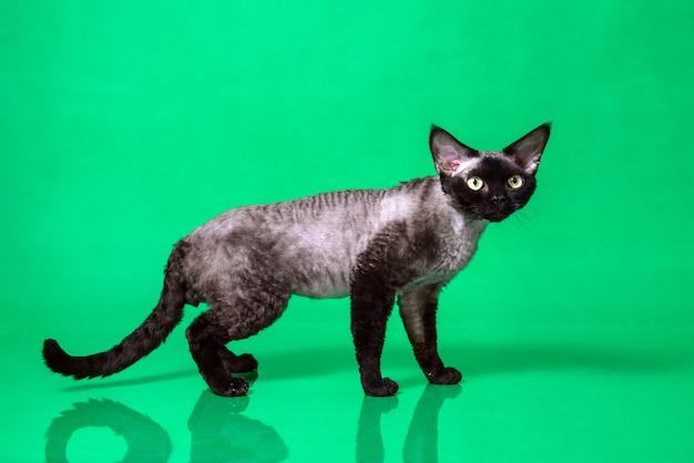 Vista lateral do gato preto devon rex