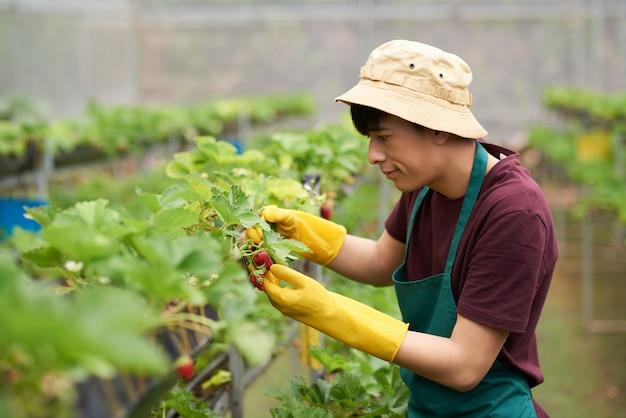Vista lateral do homem em roupa de jardinagem, reunindo morangos cultivados em uma estufa