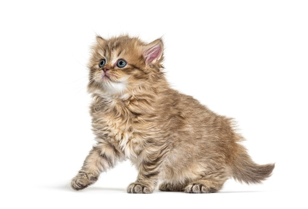 Vista lateral do kitten british longhair